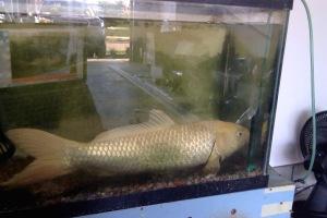 My Koi fish