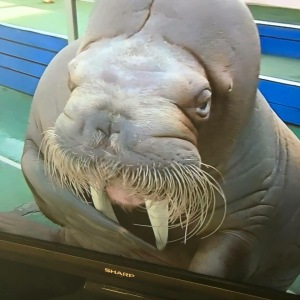 walrus bow or salute